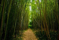 featured image thumbnail for blog Kawayan - Bamboos in Philippines